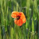 Poppy 2012 19 by Falko Follert