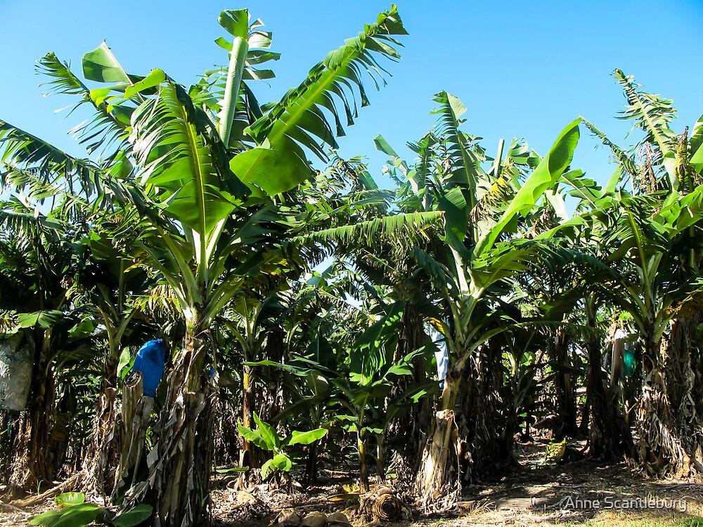 banana plants by Anne Scantlebury