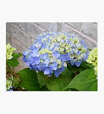 Nantucket Blue Hydrangea Photographic Print