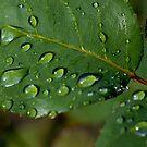 Drops on a rose leaf after a rain shower by Sami Sarkis