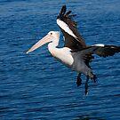 Pelican at Wagonga Inlet, Narooma by TonySlattery