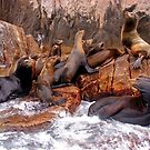 Sea Lions by Bruce Taylor