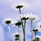 Daisies 2012 004 by Falko Follert