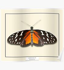 Golden Helicon Butterfly - Specimen style print Poster