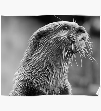 Asian small-clawed otter (Aonyx cinerea) Poster