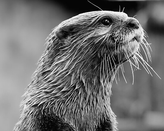 Asian small-clawed otter (Aonyx cinerea) by Stephen Liptrot