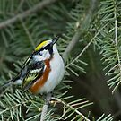 Chestnut-sided Warbler by Wayne Wood