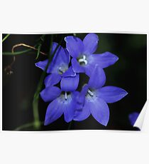 Wahlenbergia gracilis  Poster