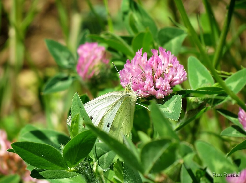 Cabbage Butterfly enjoying some nice clover nectar by Ron Russell