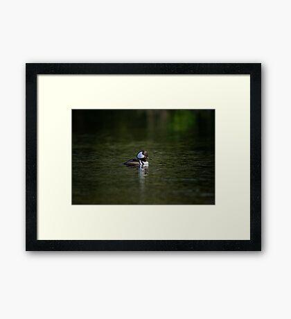 A Lone Hooded Merganser Framed Print