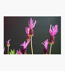 Lavandula stoechas Photographic Print