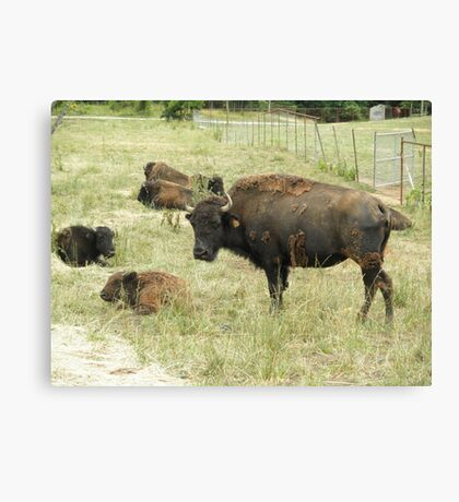Buffalo with baby bison Canvas Print