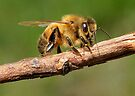 Honey Bee In Early Spring by Betsy  Seeton