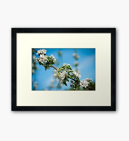 Apple Blossom 2 Framed Print