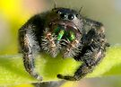 Jumping Spider (2 of 4) by Betsy  Seeton
