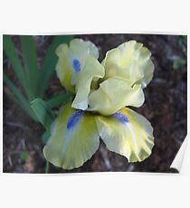 Playful Iris Poster