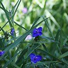 Pretty in blue by Carol Smith