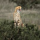 As a Cheetah Cries by Gavin Poh
