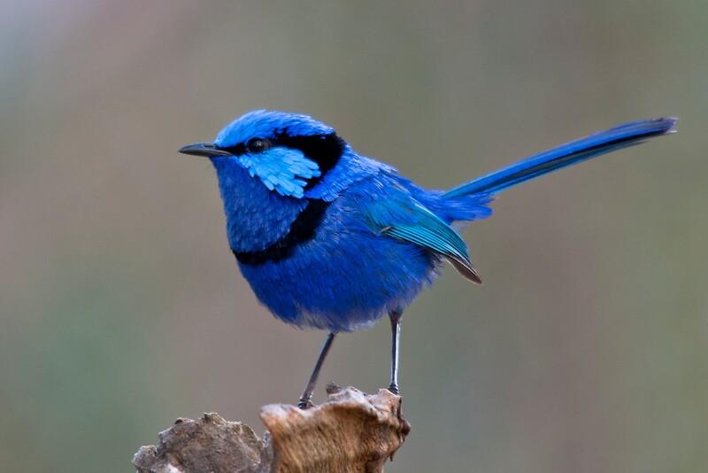 Quot Splendid Blue Wren Quot Greeting Cards By Glen Robinson