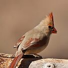 Female Cardinal by barnsis