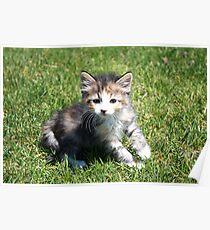 Hobbes the Kitten Poster