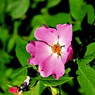 A Wild Rose of Texas - Daily Homework - Day 11 - May 18, 2012 by aprilann