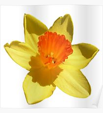 Daffodil Emblem Isolated On White Poster