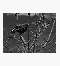 Grackle  Photographic Print
