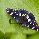 Southern White Admiral by Robert Abraham
