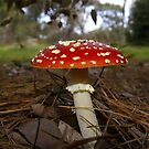 Amanita muscaria.    Fly Agaric         by Russell Mawson