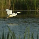 Great white egret, sailing over the water by steppeland
