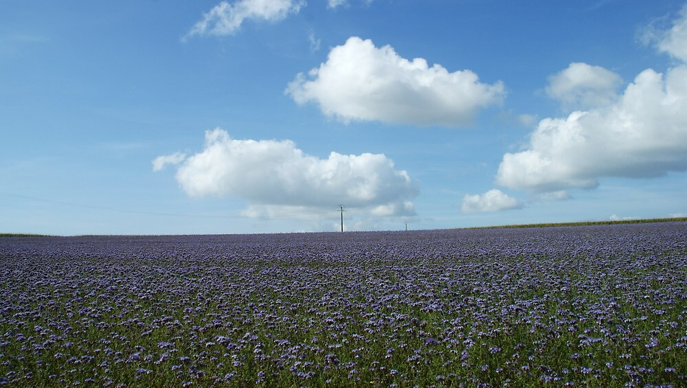 Phacelia Field by marens
