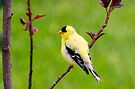 Pavane (American Goldfinch) by Yannik Hay