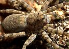 Spider With A Gotee by Betsy  Seeton