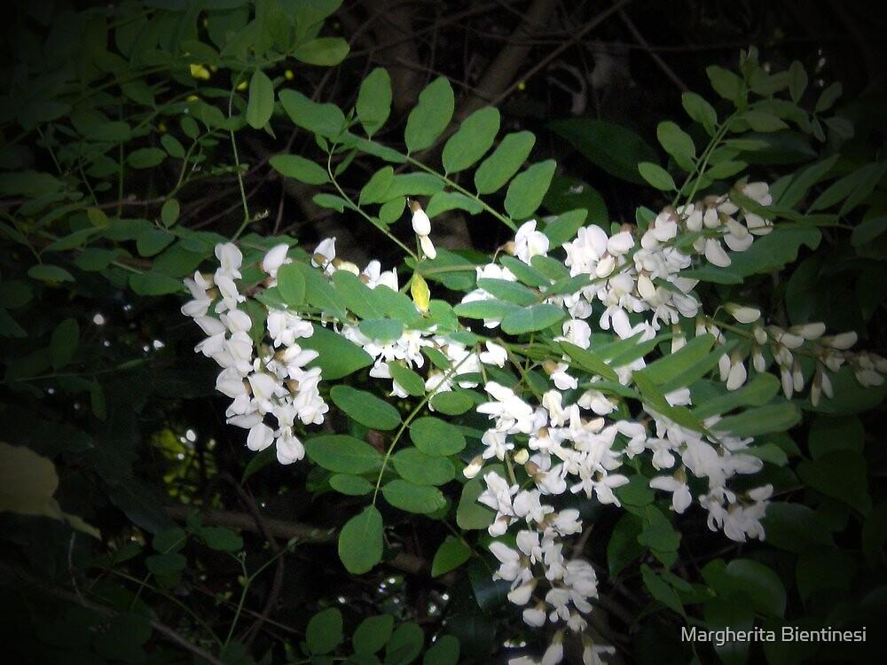 Robinia flowers by Margherita Bientinesi