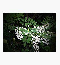 Robinia flowers Photographic Print