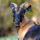 The Goat by Lolabud
