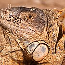Green Iguana by Charles Dobbs Photography