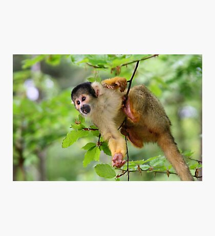 Curious Squirrel Monkey Photographic Print