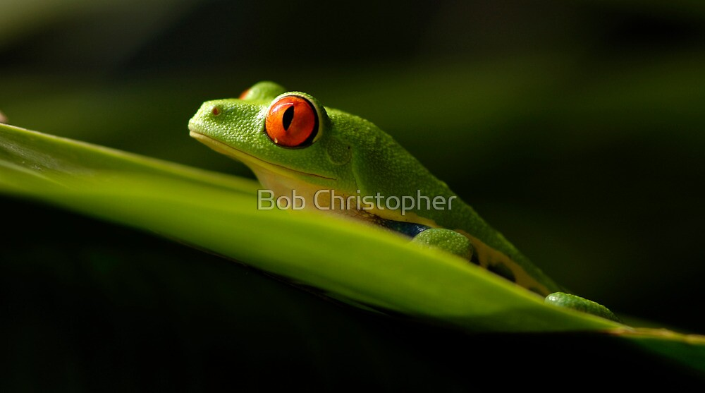 Red Eyed Tree Frog 1 by Bob Christopher