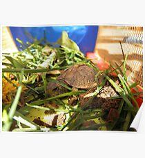 Box Turtle. Poster