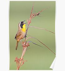 Common Yellow Throat Warbler Poster