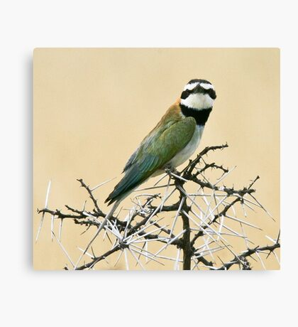 White-throated bee-eater checking out the Canon Canvas Print