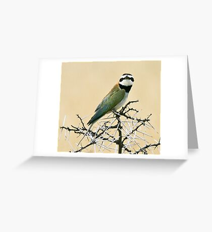 White-throated bee-eater checking out the Canon Greeting Card