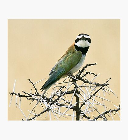 White-throated bee-eater checking out the Canon Photographic Print