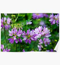Crown Vetch Poster