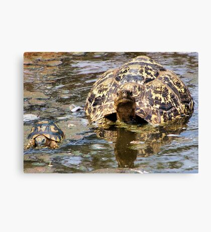 JUVENILE AND MOTHER - MOUNTAIN - LEOPARD TORTOISE – Geochelone pardalis Canvas Print