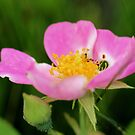 Texas Wild Rose by aprilann