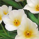 White Spring Tulips by Sheri Nye