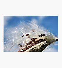 Milkweed Seeds Photographic Print